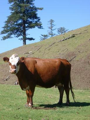 Norfolk Island Cow